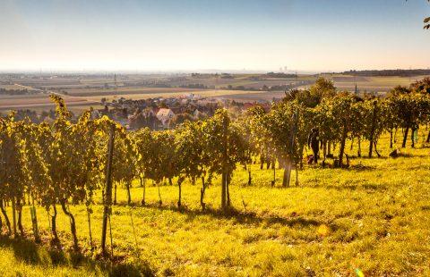 Weingut_Gilg_Hagenbrunn_Weinviertel_Weingarten